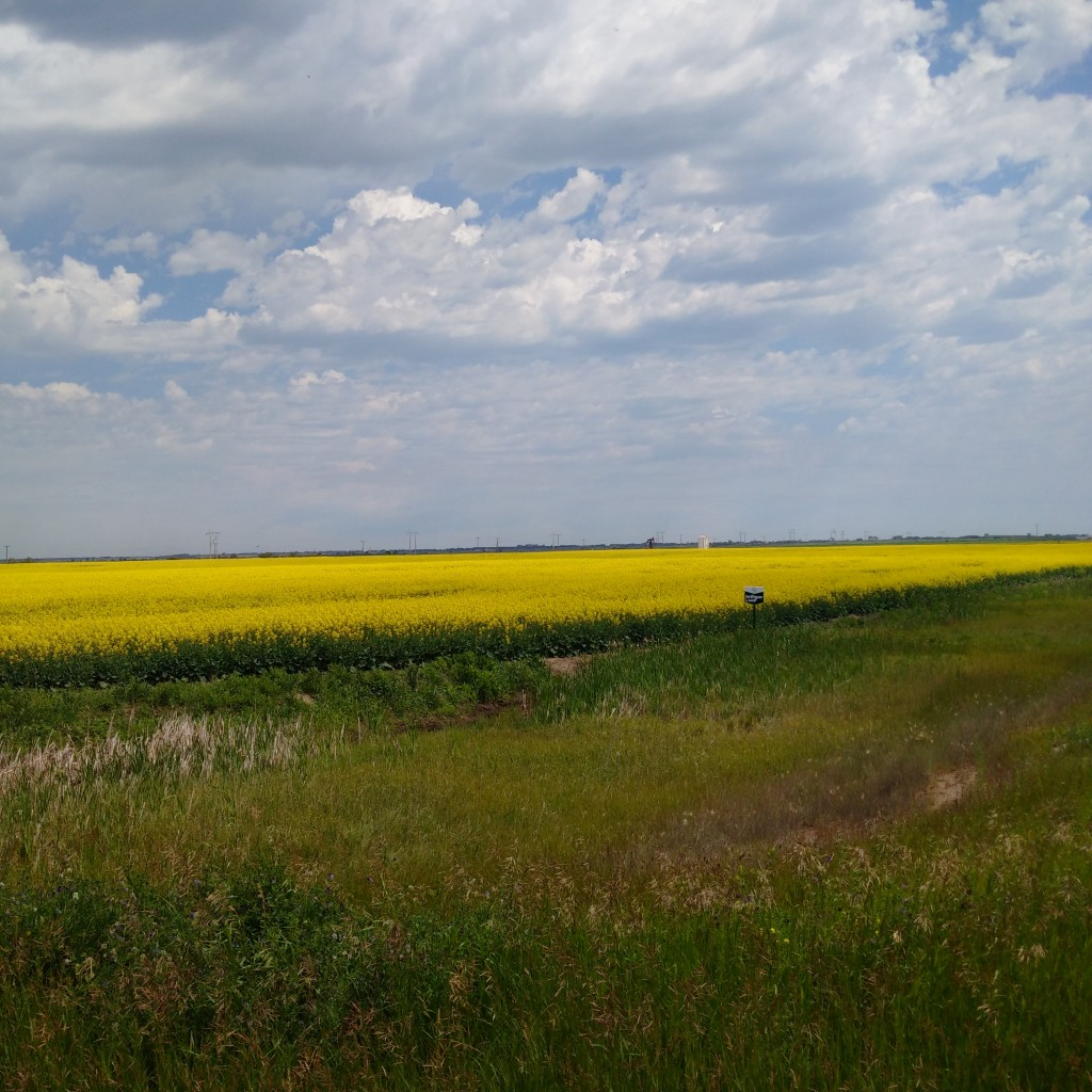 Canola in bloom out by Alameda